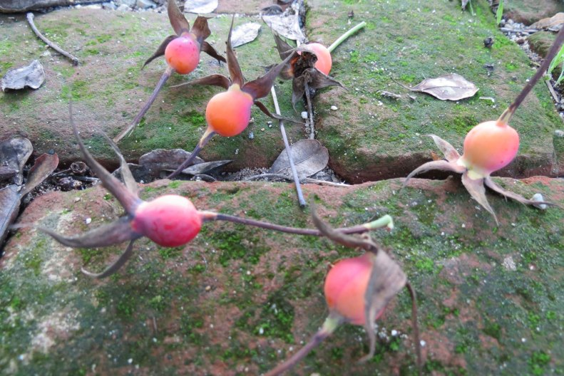 FloraLittleRabbit-rosehips